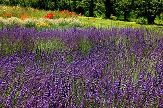 Lavender field 2007 - Hood River Lavender Farm