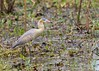 Whistling heron (Syrigma sibilatrix), Mato Grosso, Brazil by Free pictures for conservation