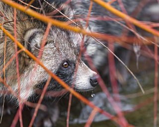 Raccoon dog among vegetation | by Tambako the Jaguar