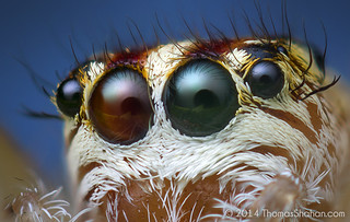 Anterior Eyes of a Female Phanias sp. Jumping Spider - Oregon | by Thomas Shahan