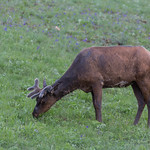 Elk with fuzzy antlers