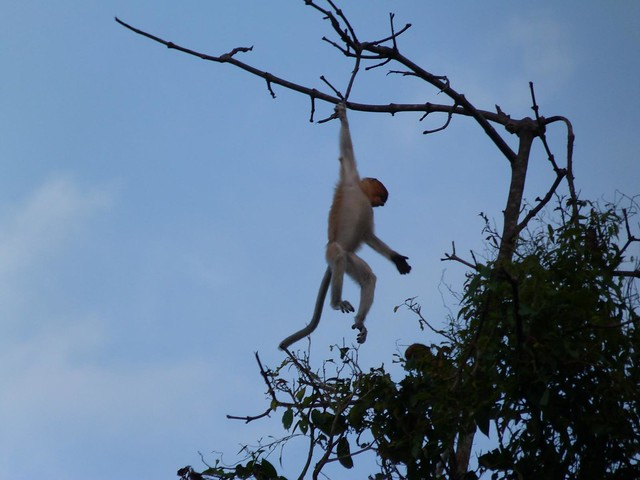 Mono narigudo colgado de una rama (Río Kinabatangan, Malasia)