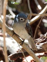 White-eyed Slaty Flycatcher