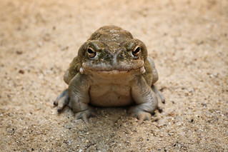 Colorado River toad | by Markus Moning