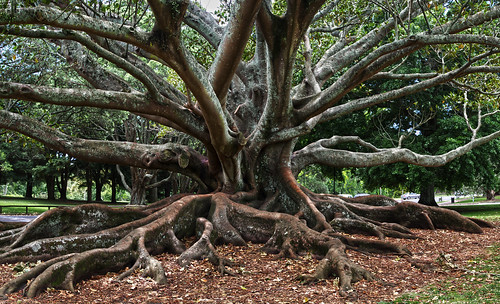 tree roots old alter baum park auckland new zealand neuseeland wurzeln holz wood
