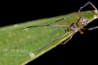 Comb-Footed Spider (Janula sp.) - DSC_3043