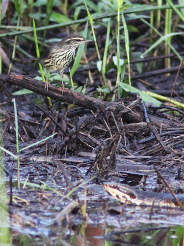 Northern Waterthrush with Cottonmouth 06-20131008