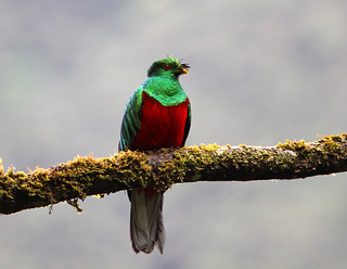 Crested Quetzal   by vil.sandi