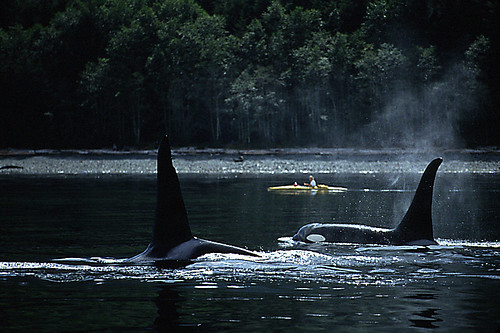Killer Whales (Orcas) at Robson Bight: Whale Watching, Vancouver Island, British Columbia
