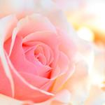 Rose/玫瑰/バラ