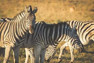 zebra's in Africa | by jordihin