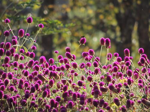 purple bachelorbuttons skipperbutterfly sunset blooms pof