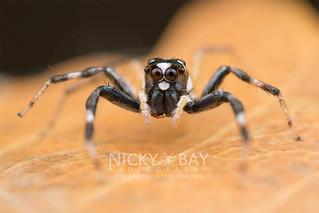 Jumping Spider (Phintella sp.) - DSC_6002