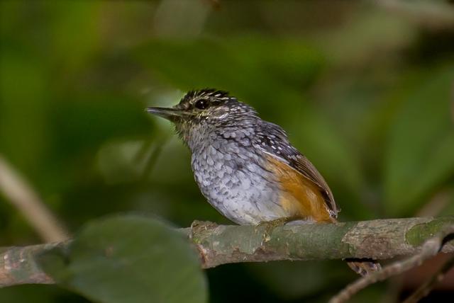 Cantador-estriado (Hypocnemis striata striata) - Macho