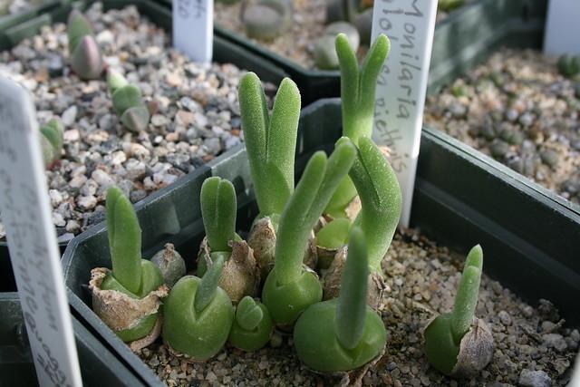 Monilaria globosa - Riethuis