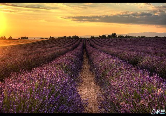 Summertime in Lavender