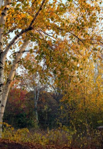 autumn autumnfoliage trees light sunlight tree fall nature leaves colorful fallcolors autumncolors fallfoliage rhodeisland birchtrees birchtree lincolnri colorfulleaves lincolnwoodsstatepark