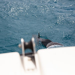 Spinner dolphin off the bow