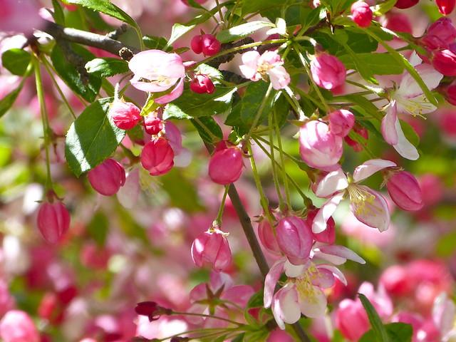 Malus Floribunda blossoms from my garden last spring