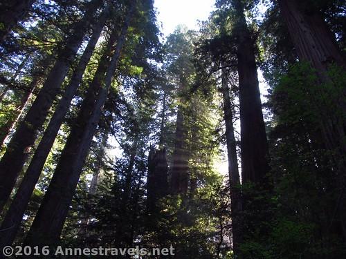 Morning in the Lady Bird Johnson Grove, Redwoods National Park, California