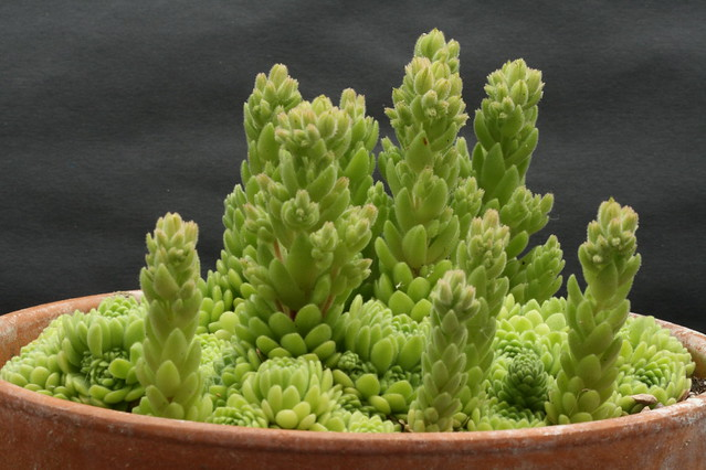 Rosularia chrysantha, erupting with buds
