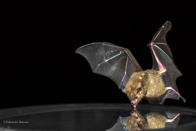The flight of the Bat