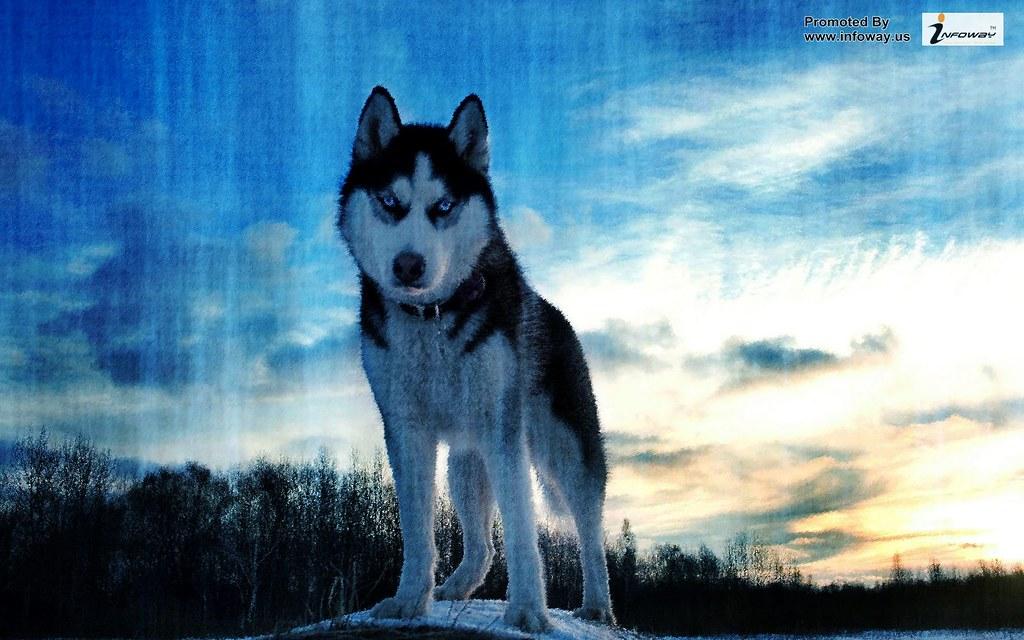 Beautiful Wolf Hd Wallpaper Beautiful Wolf Hd Wallpaper