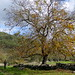 Walnut tree / Nogueira