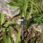 The same dragon fly...or is it?