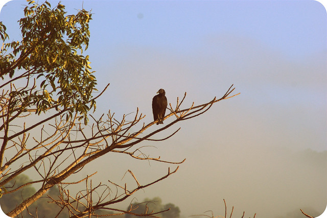 El Zope Solitario  / The Lone Vulture