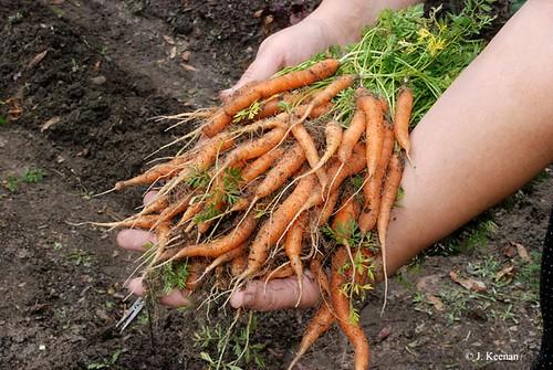 Carrots 'Little Finger'