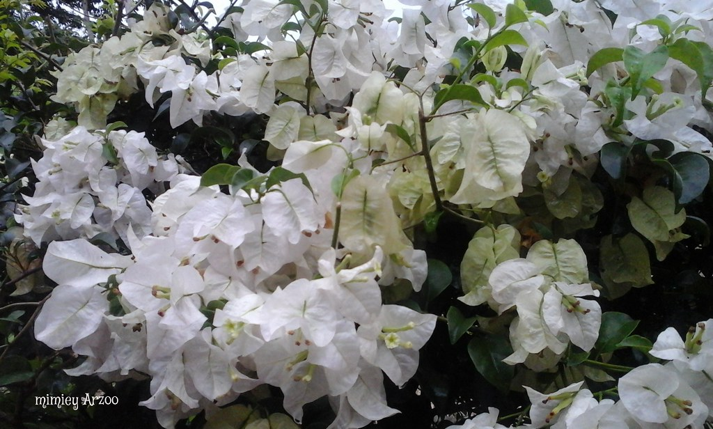 Bunga Kertas Putih Nama Saintifik Bougainvillea Spp Bunga Flickr