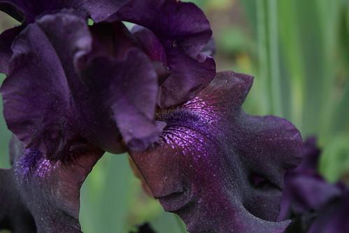 Iris Black Knight ? - Lilou [identification en cours] 9119436848_0859320596