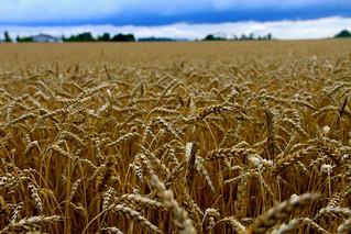 Wheat Field, Fort Royal Farm | by danxoneil