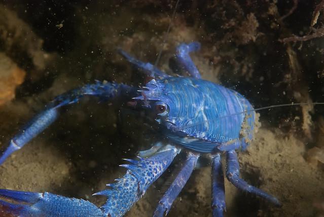One in a million / Blue squat lobster (Galathea squamifera)