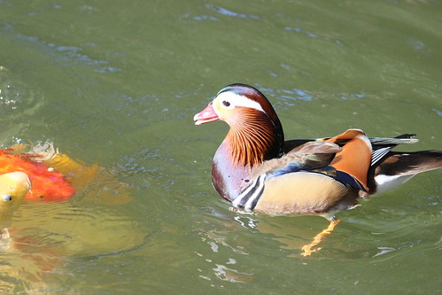 MANDARIN DUCK | by cuatrok77