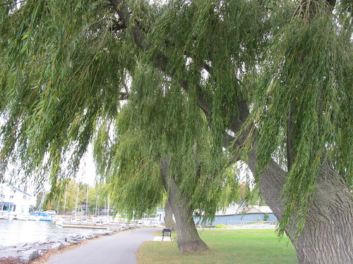 weeping willow | by empracht