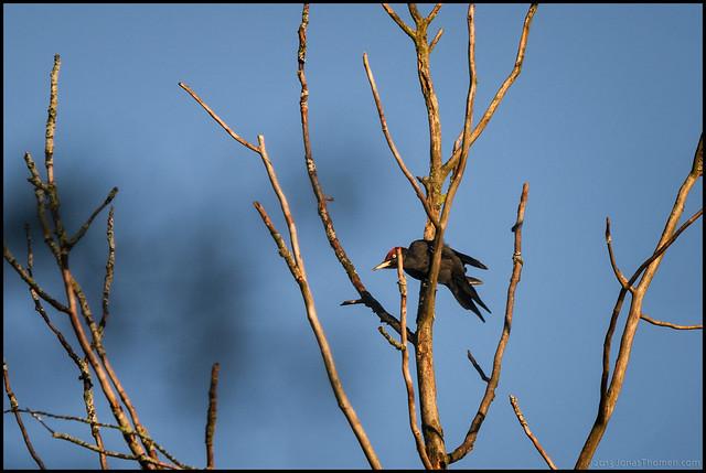 Spillkråka - Black Woodpecker