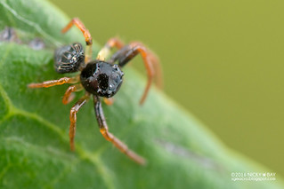 Crab spider (Thomisidae) - DSC_5019