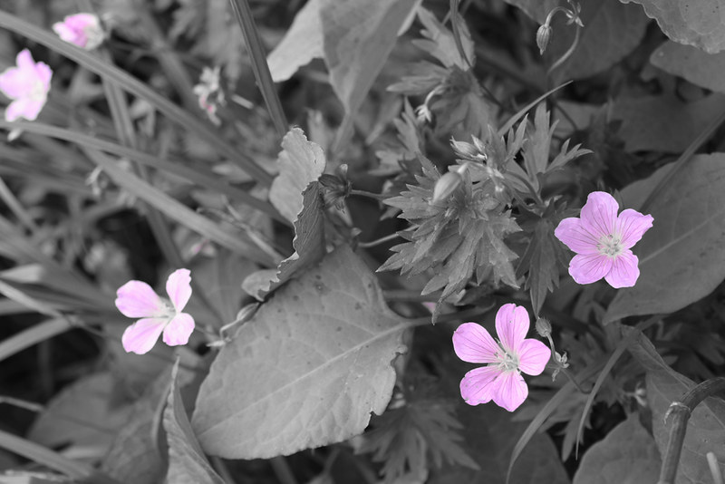 高山植物_05