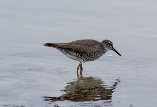 Wandering Tattler at Monterey IMG_6544 | by grebberg