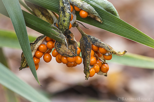 Iris foetidissima | by BambersImages