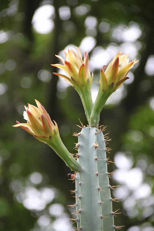 Cereus huilunchu