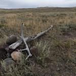Elk antler on Specimen Ridge