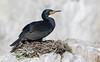 Cape Cormorant (Phalacrocorax capensis) by George Wilkinson