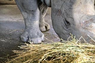 Rinoceronte bianco | by valentinastorti