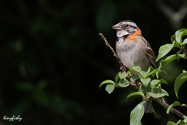 (37b) Rufous-collared Sparrow - [ Monteverde, Costa Rica ]