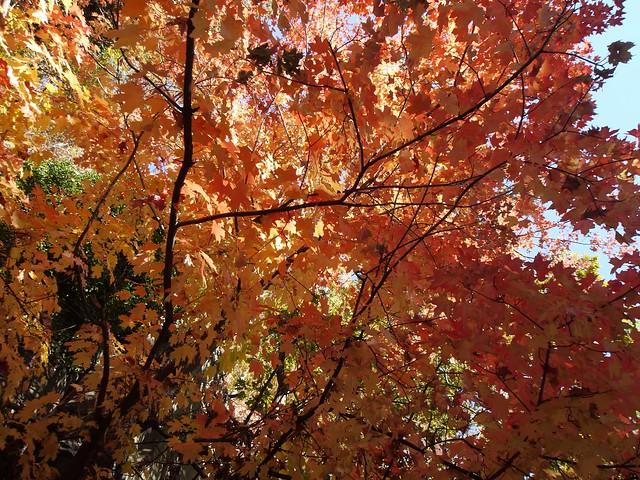日, 2013-10-27 06:35 - 紅葉 Henry Hudson Dr