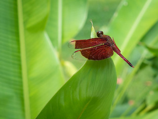 Red Dragonfly on Leaf, Four Seasons Sayan | by Luke Robinson