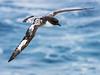 Cape Petrel (Daption capense) by David Cook Wildlife Photography
